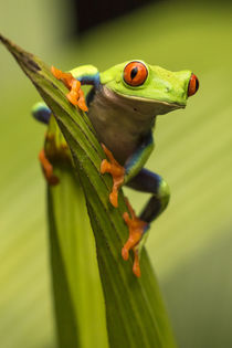Red-eyed tree frog close-up. Credit as: Cathy & Gordon Illg ... by Danita Delimont