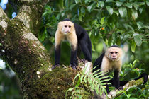 Capuchin Monkeys by Danita Delimont