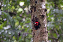 Pale-Billed Woodpecker by Danita Delimont