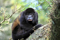 A female Mantled Howler Monkey sits in a tree Lomas de Barbu... by Danita Delimont