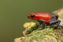 Blue-jeans or strawberry poison dart frog on rainforest floo... von Danita Delimont