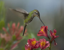 Sword-billed hummingbird drinking from a flower, Costa Rica by Danita Delimont