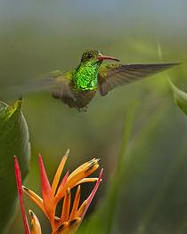 Rufous-tailed hummingbird, Costa Rica. by Danita Delimont