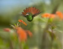 Rufous-tailed hummingbird, Costa Rica. von Danita Delimont