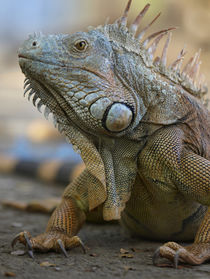 Headshot of a Green Iguana, Costa Rica, summer by Danita Delimont