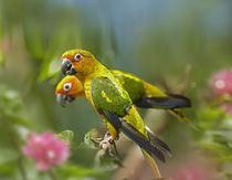 Conure parrots, Costa Rica by Danita Delimont