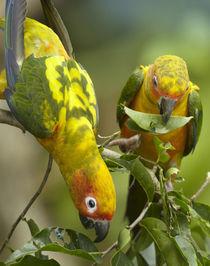 Conure parrots, Costa Rica. by Danita Delimont