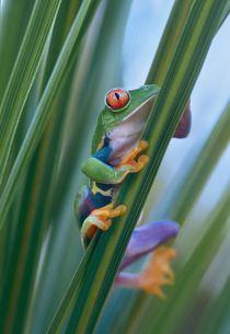 Red-eyed tree frog, Costa Rica von Danita Delimont