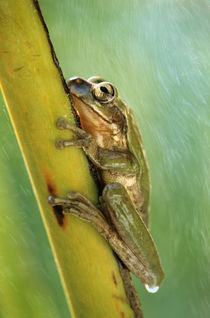 European Tree frog clinging to a stem, Costa Rica by Danita Delimont