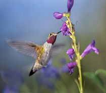 Broad-tailed hummingbird at Penstemon, Costa Rica. by Danita Delimont