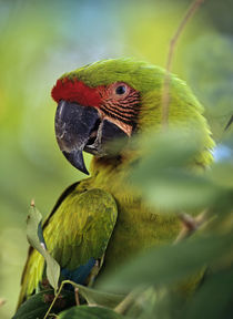 Great Green Macaw, Costa Rica. by Danita Delimont