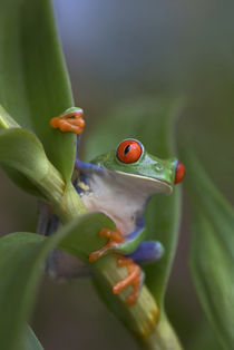 Red-eyed tree frog, Costa Rica by Danita Delimont
