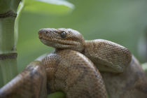 Cook's tree boa snake coiled, Costa Rica by Danita Delimont