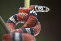 False coral snake, Costa Rica by Danita Delimont