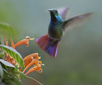 Green-breasted mango hummingbird at flame vine, Costa Rica by Danita Delimont