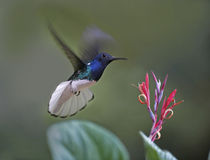 Male White-necked Jacobin hummingbird flying to a flower, Costa Rica. by Danita Delimont
