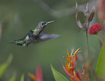 White-necked Jacobin hummingbird female, Costa Rica von Danita Delimont