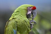 Buffon's macaw, Costa Rica. von Danita Delimont