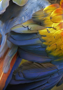 Scarlet macaw feathers, Costa Rica. by Danita Delimont