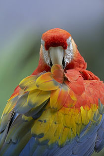 Scarlet macaw preening, Costa Rica. by Danita Delimont