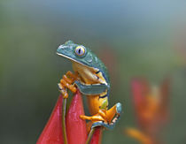 Tiger-striped leaf frog on a lobster claw flower, Costa Rica by Danita Delimont