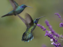 Green violet-ear hummingbirds, Costa Rica by Danita Delimont