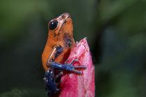 Blue jeans poison dart frog on a flower, Costa Rica von Danita Delimont