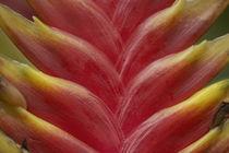 Heliconia, Costa Rica von Danita Delimont