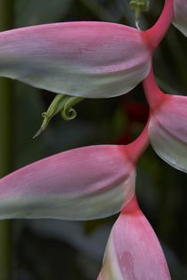 Close-up of a Heliconia, Costa Rica by Danita Delimont