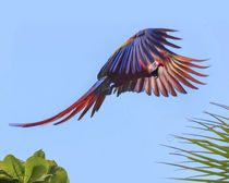 Scarlet Macaw in flight von Danita Delimont