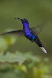 Violet Sabrewing Hummingbird by Danita Delimont