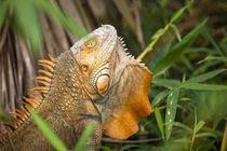 Green Iguana by Danita Delimont