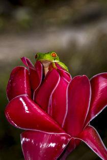 Red-eyed Tree Frog von Danita Delimont