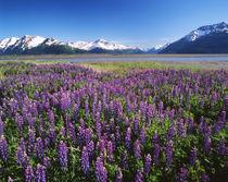 USA, Alaska, Kenai National Wildlife Refuge, Lupines in bloo... von Danita Delimont