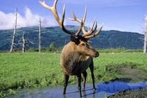Elk Bull Stands in Alaskan Stream von Danita Delimont