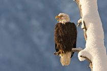 USA, Alaska, Chilkat Bald Eagle Preserve by Danita Delimont