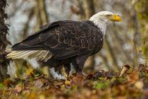 USA, Alaska, Chilkat Bald Eagle Preserve von Danita Delimont