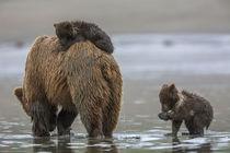 Brown bear and cubs von Danita Delimont