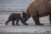 USA, Southeast Alaska, Brown Bear cub. von Danita Delimont