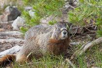Hoary Marmot, Marmota caligata okanagana, largest North Amer... by Danita Delimont