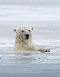 Polar Bears near Kaktovic, Alaska von Danita Delimont