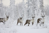 A small group of caribou migrates along the edge of the bore... by Danita Delimont