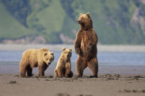 A brown bear mother and cubs walks across mudflats in Kaguya... by Danita Delimont