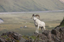 Dall Sheep by Danita Delimont