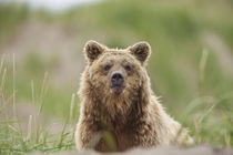 Brown Bear von Danita Delimont