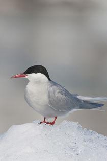 Arctic Tern by Danita Delimont
