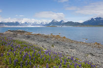Lupine at Columbia Bay by Danita Delimont