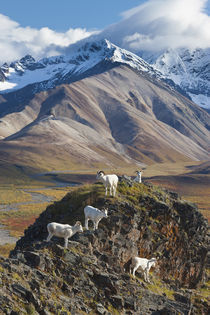 Dall Sheep Rams in Denali Park by Danita Delimont