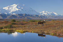 Bull Moose and Mt by Danita Delimont