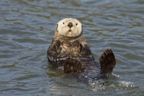 Sea Otter by Danita Delimont